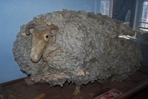 The extraordinary lost sheep on display in the Calvinia Museum