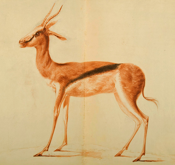 Historic painting of a Springbok by Frederick Birnie from the Special Collection in the University of Glasgow in Scotland