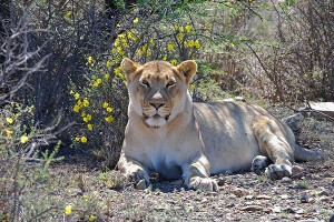 A Lioness in the Karoo National Park