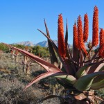 Flowering Aloe Ferox between Willowmore and Uniondale
