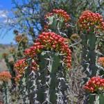 Noors Euphorbia coerulescens
