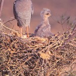 The Pale Chanting Goshawk is a common Karoo Raptor