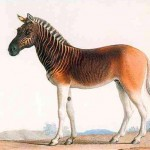The extinct Quagga was once a common sight in the Karoo