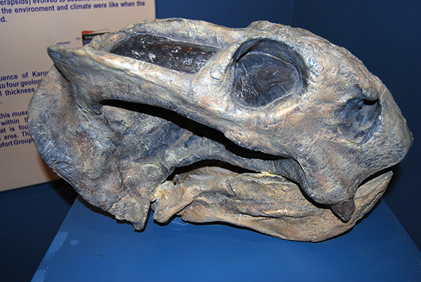 Replica of the head of Dicynodon in the Kitching Fossil Centre