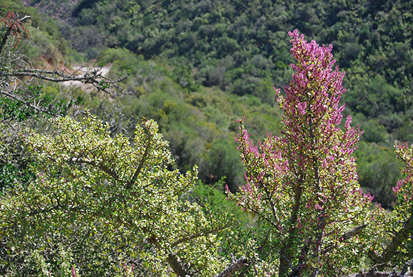 Flowering Spekboom in Baviaanskloof