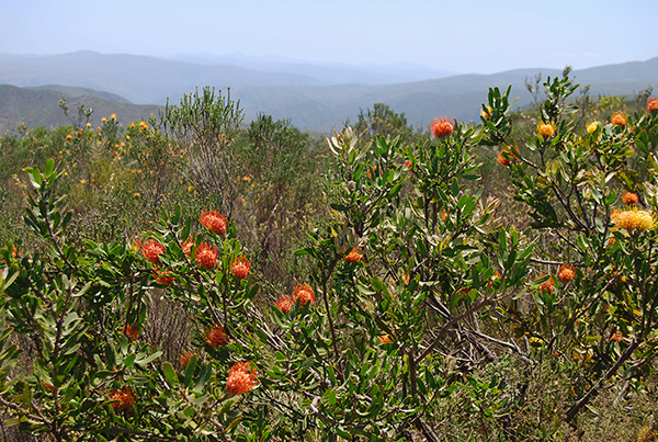 Pincushions flowering on the Bergplaas Plateau